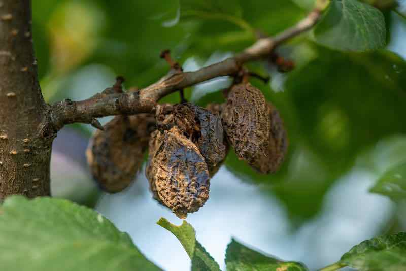 Plum Disease Prevention and Treatment